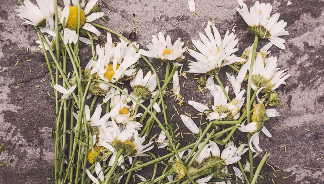 flowers-marguerites-destroyed-dead-3